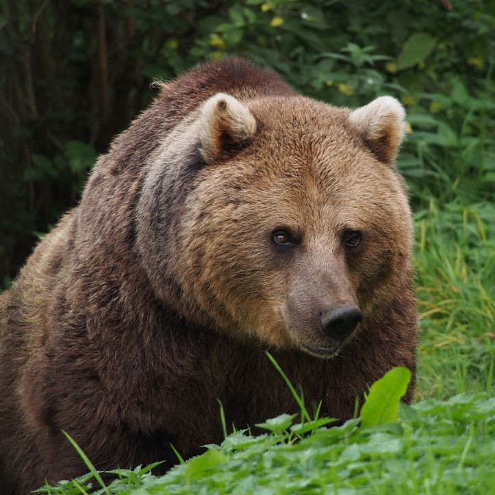 1200px-European_Brown_Bear